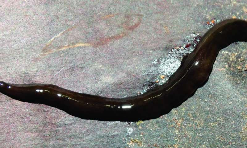 Hidden diversity: 3 new species of land flatworms from the Brazilian Araucaria forest