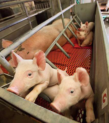 High-tech camera helps protect sows and piglets