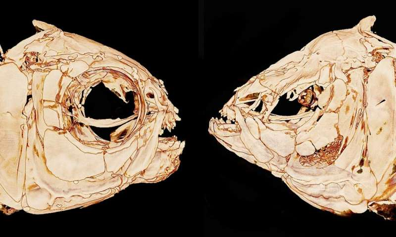 How do blind cavefish find their way? The answer could be in their bones.