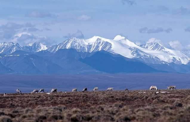 How drilling for oil in the Arctic National Wildlife Refuge could impact wildlife