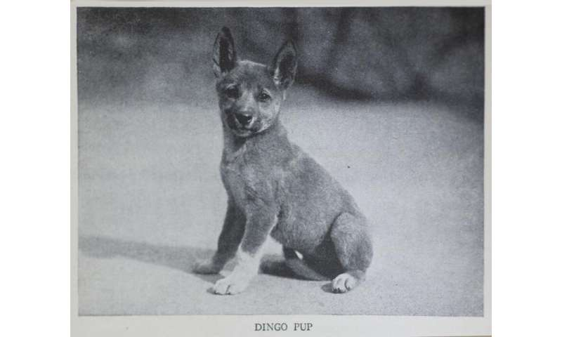 Living blanket, water diviner, wild pet: a cultural history of the dingo