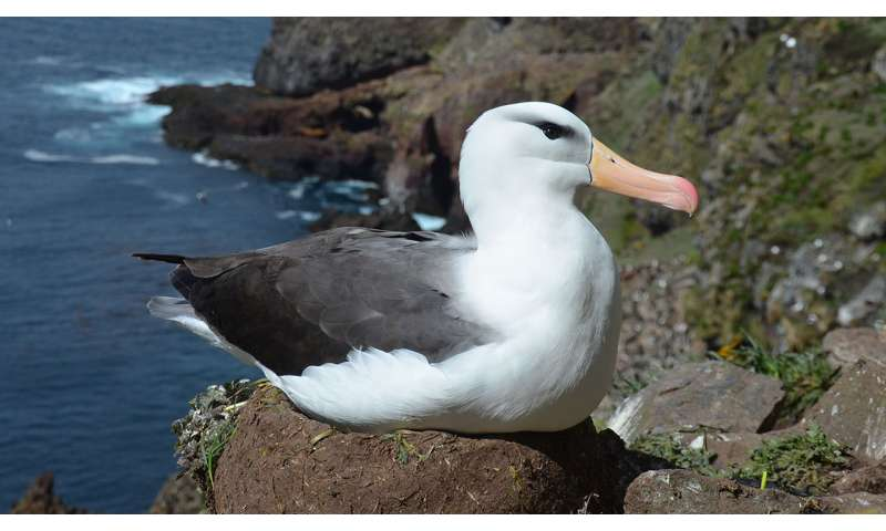 More frequent extreme ocean warming could further endanger albatross