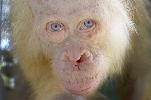 Name sought for rare albino orangutan rescued in Indonesia