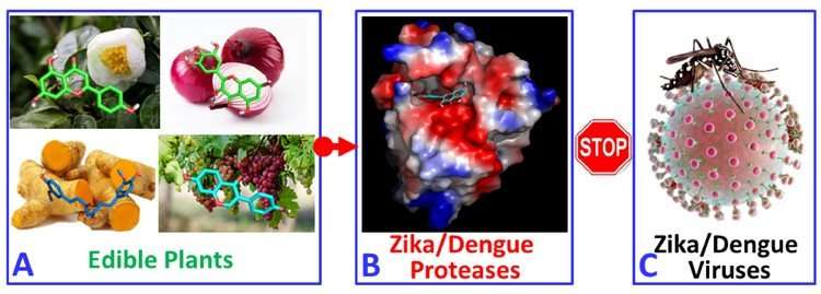 Natural compounds fight against Zika and Dengue viruses