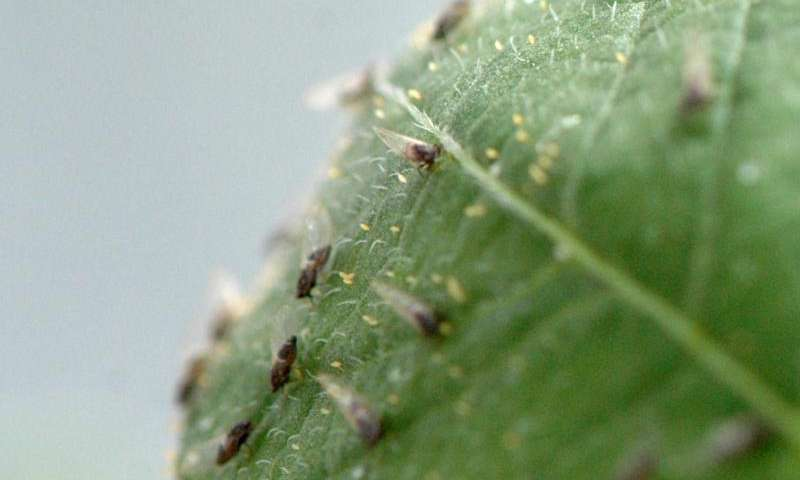 Neonicotinoid insecticides losing efficiency in potato psyllid control