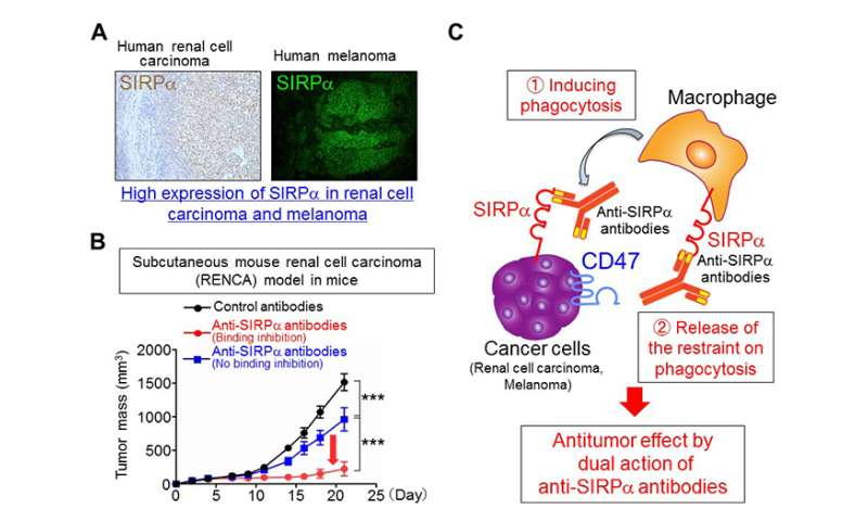 Potential new cancer treatment activates cancer-engulfing cells