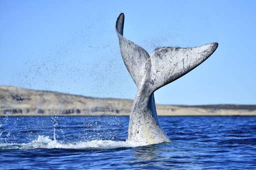 Record number of whales counted in Argentina's Patagonia
