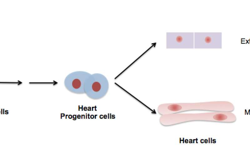 Researchers use stem cells to regenerate the external layer of a