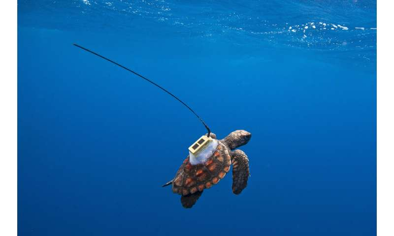 Satellite tracking provides clues about South Atlantic sea turtles' 'lost years'