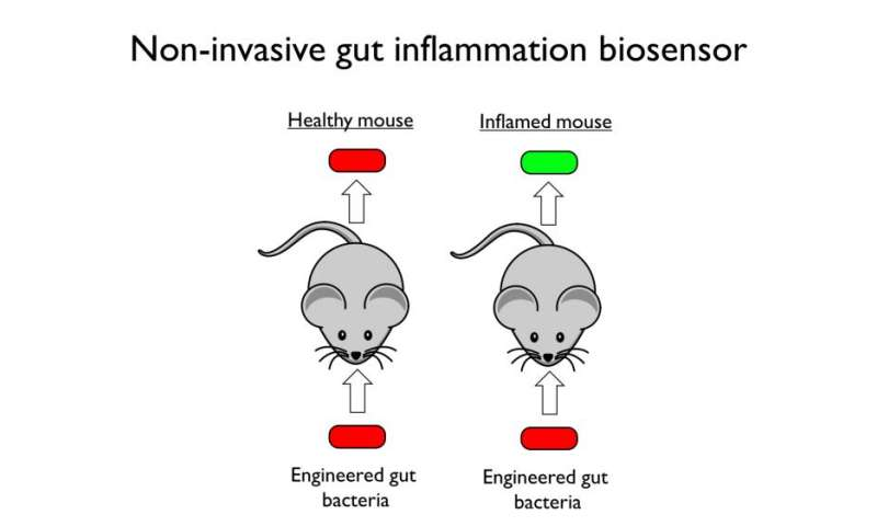 Synthetic biologists engineer inflammation-sensing gut bacteria