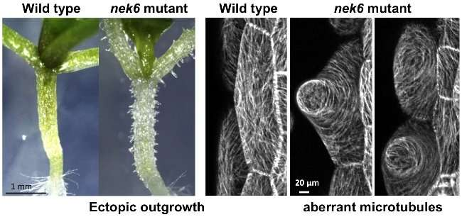 The function of NIMA-related kinase 6 in the straight growth of plant cells