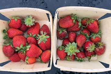 UNH researchers extend N.H. growing season for strawberries