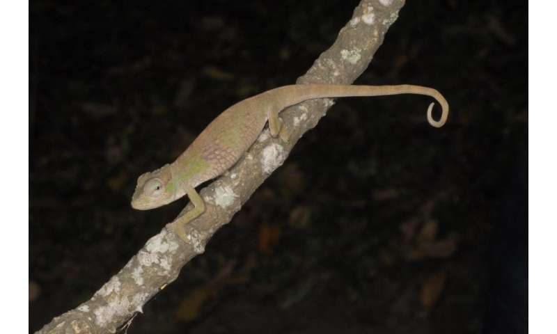 UTEP doctoral student discovers 3 chameleon species