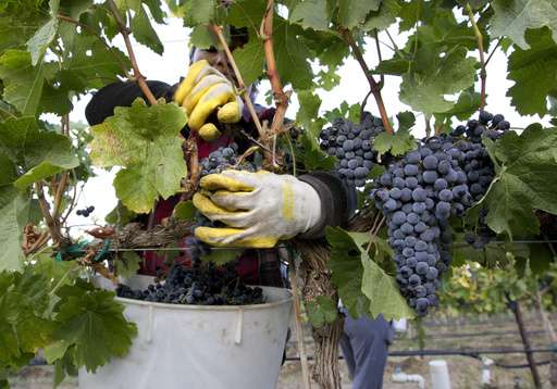 Washington produces record harvest of wine grapes in 2016