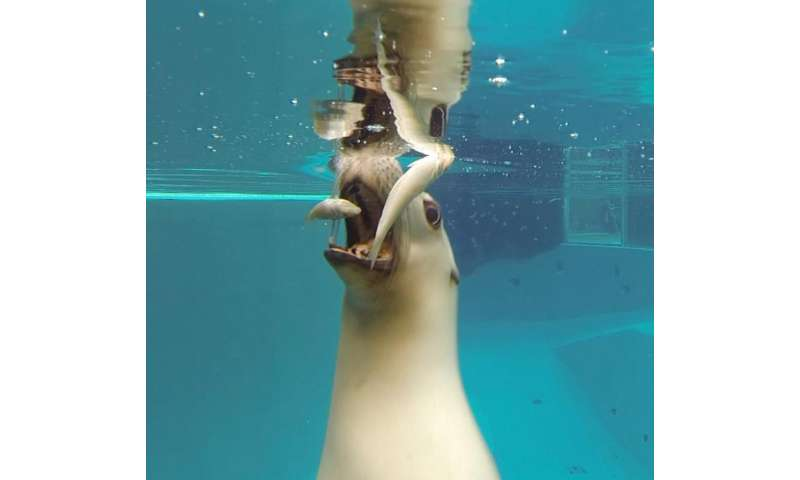 When mammals took to water they needed a few tricks to eat their underwater prey