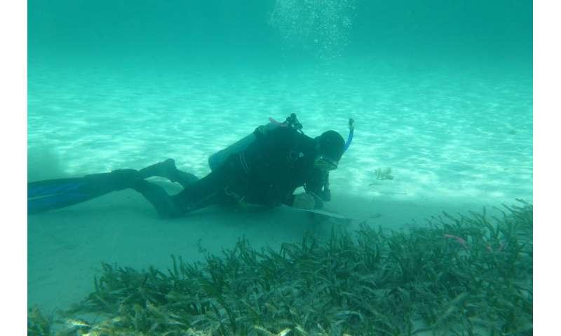 Study identifies bottlenecks in early seagrass growth