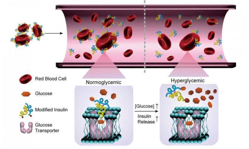 Researchers use modified insulin and red blood cells to regulate blood sugar