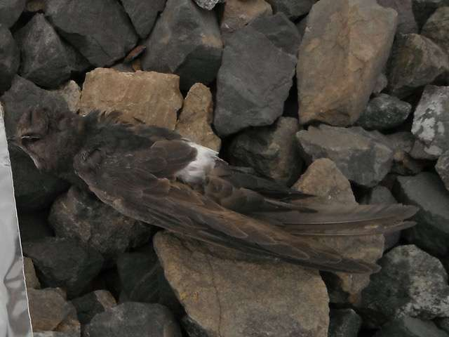 Researchers untangle mystery of tiny bird's trans-Pacific flight