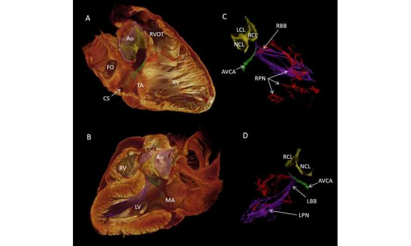 Scientists reveal source of human heartbeat in 3-D