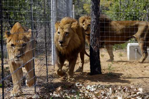 2 lions, freed from circuses, are poached in South Africa