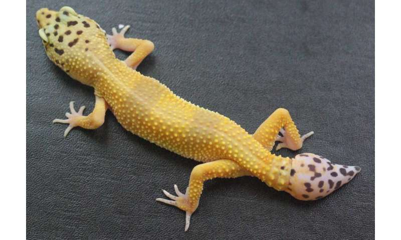 University of Guelph study first to identify the cells driving gecko's ability to re-grow its tail