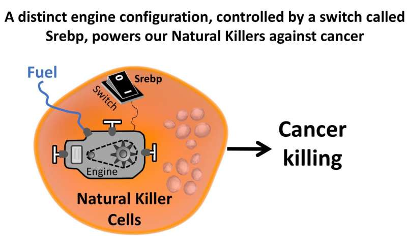 Cholesterol-like molecules switch off the engine in cancer-targeting Natural Killer cells