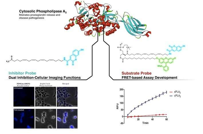Fluorescent probes to study cellular activity