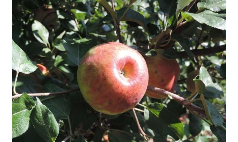 Research yields test to predict bitter pit disorder in Honeycrisp apples