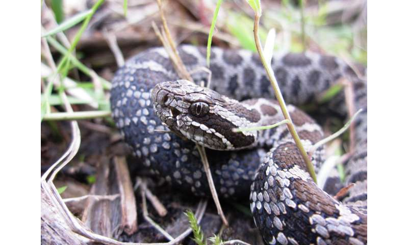Study examines life history of imperiled rattlesnake