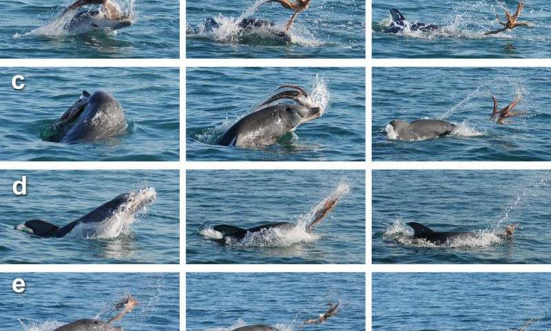 Unique dolphin strategy delivers dangerous octopus for dinner