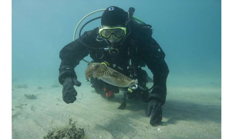 Study reveals first recording of cuttlefish fighting over a mate in the wild