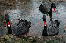 Researchers prove existence of unique but ill-fated New Zealand black swan