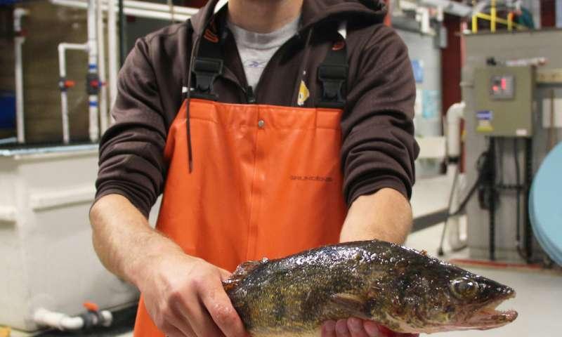 Researchers explore walleye for aquaculture