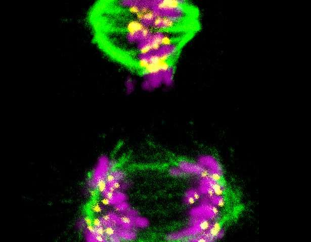 Scientists figure out how cell division timer works