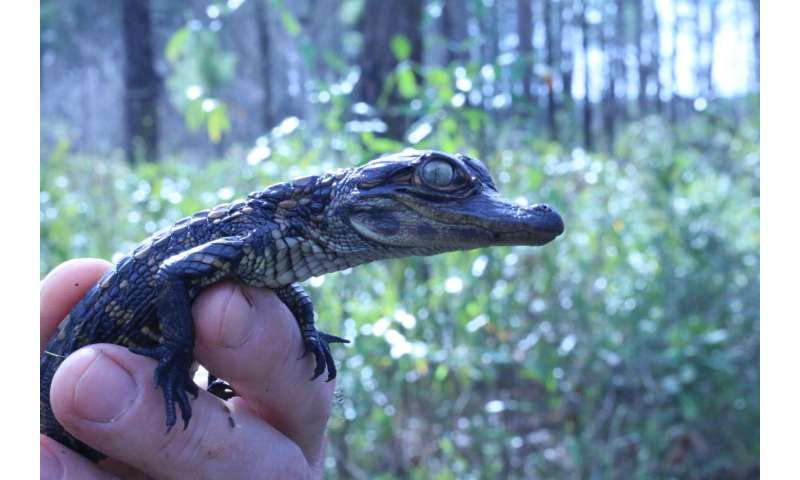 35-year South Carolina alligator study uncovers mysteries about growth and reproduction