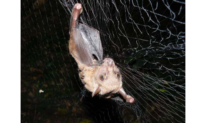 Study reveals interplay of an African bat, a parasite and a virus