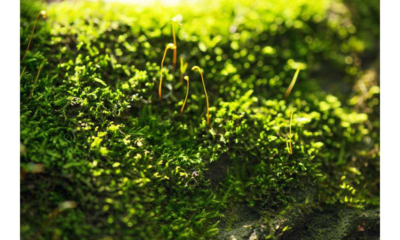 Study reveals the mechanisms of a protein that helps moss and green algae defend against too much light