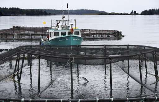 Literally lousy: Parasite plagues world salmon industry