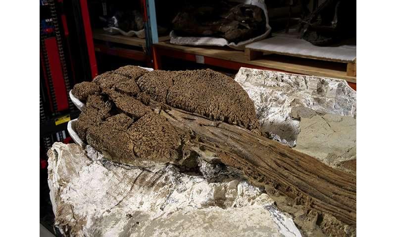 Nearly pristine ankylosaur fossil found in Montana