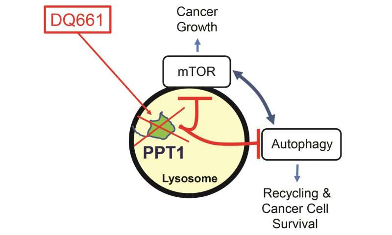 Penn researchers identify new target, develop new drug for cancer therapies