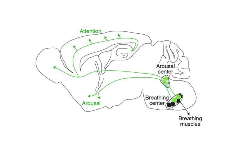 Study shows how slow breathing induces tranquility