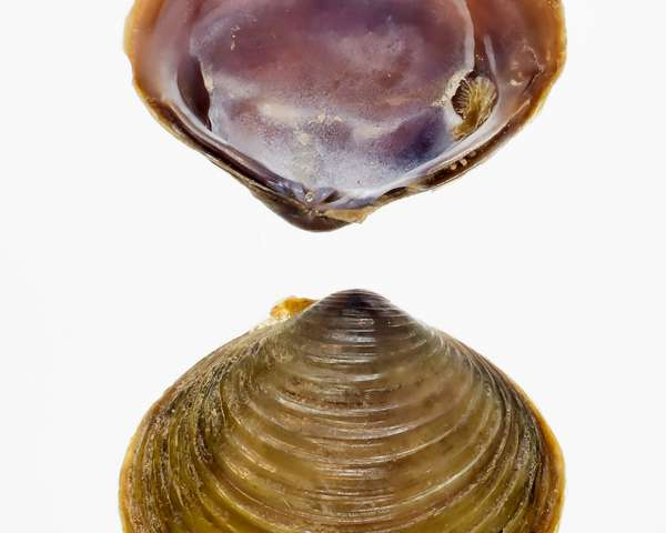 Team discovers a new invasive clam in the US