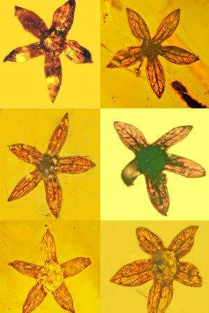 Study reveals seven complete specimens of new flower, all 100 million years old