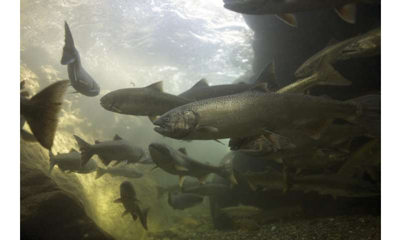 Study reveals the evolutionary history of imperiled salmon stocks