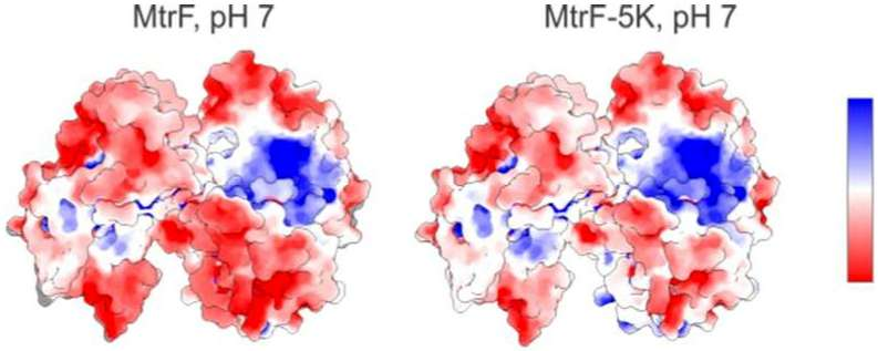 Study reveals how oxygen-deprived protein loosely binds to a mineral