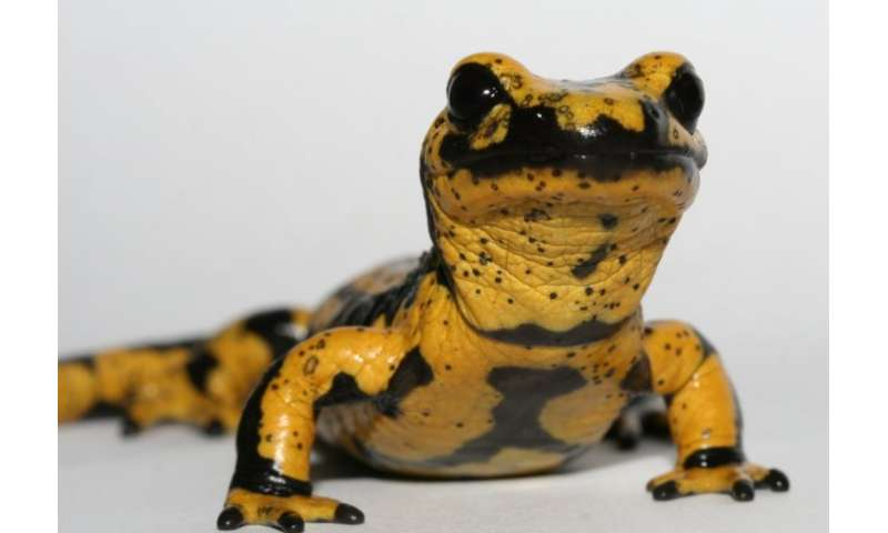 Breakthrough in 'amphibian plague': deadly fungus genes identified