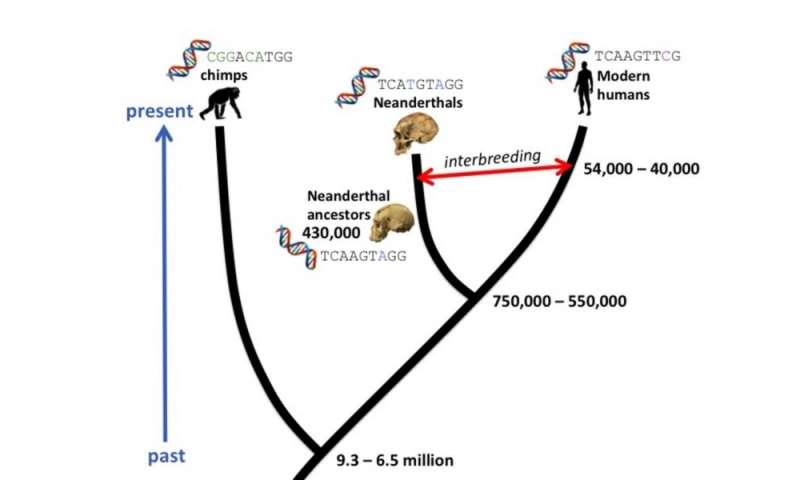 How molecular clocks are refining human evolution's timeline