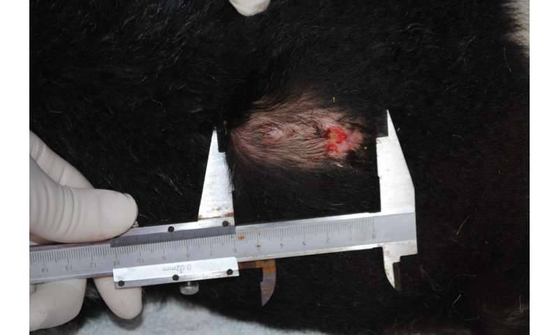 Immunotherapy trial cures Tasmanian devils of DFTD