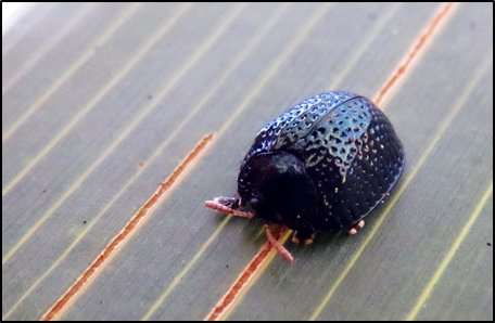 Researcher reveals how beetles bounce back from forest fires