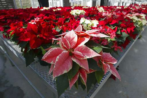 Science Says: Are poinsettias poisonous? Some holiday truths